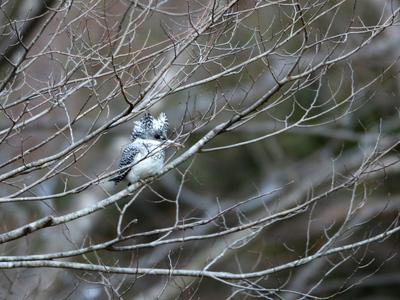 枝の中のヤマセミ.JPG